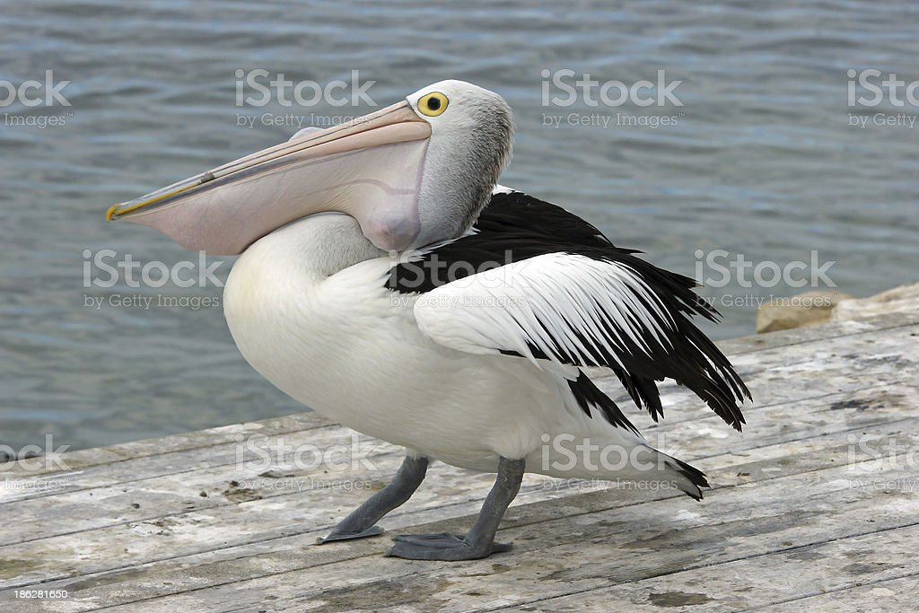Australian Pelican, Kangaroo Island stock photo