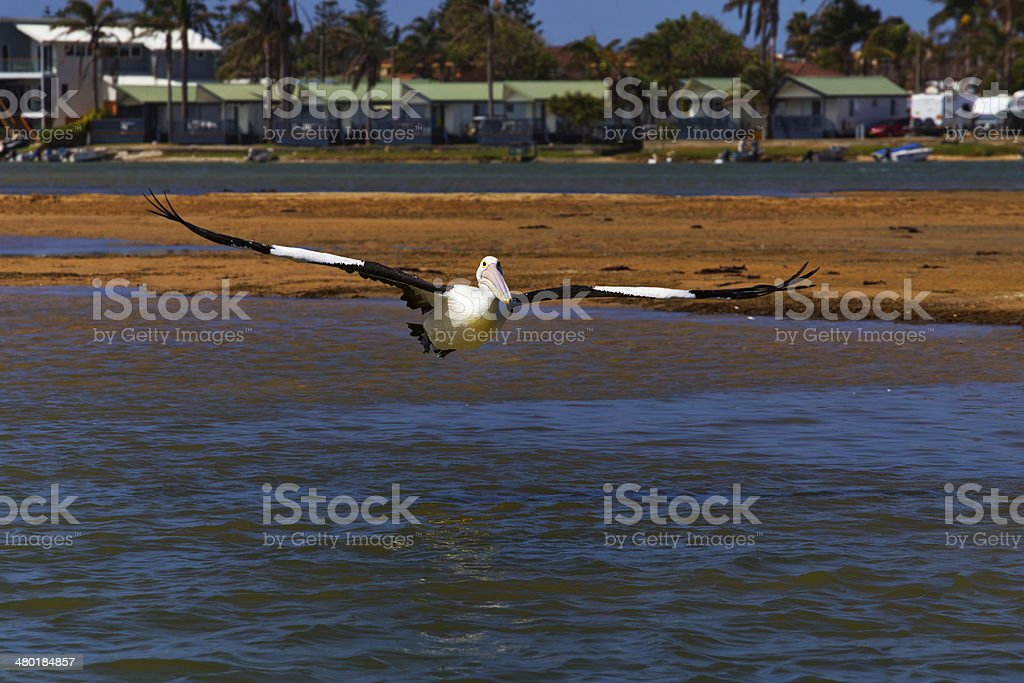 Australian Pelican lands on water stock photo