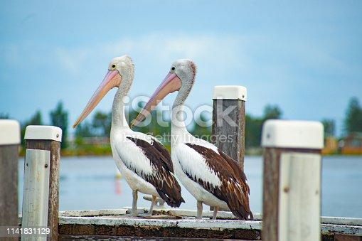 Pelecanus conspicillatus, Australian pelican standing on pier