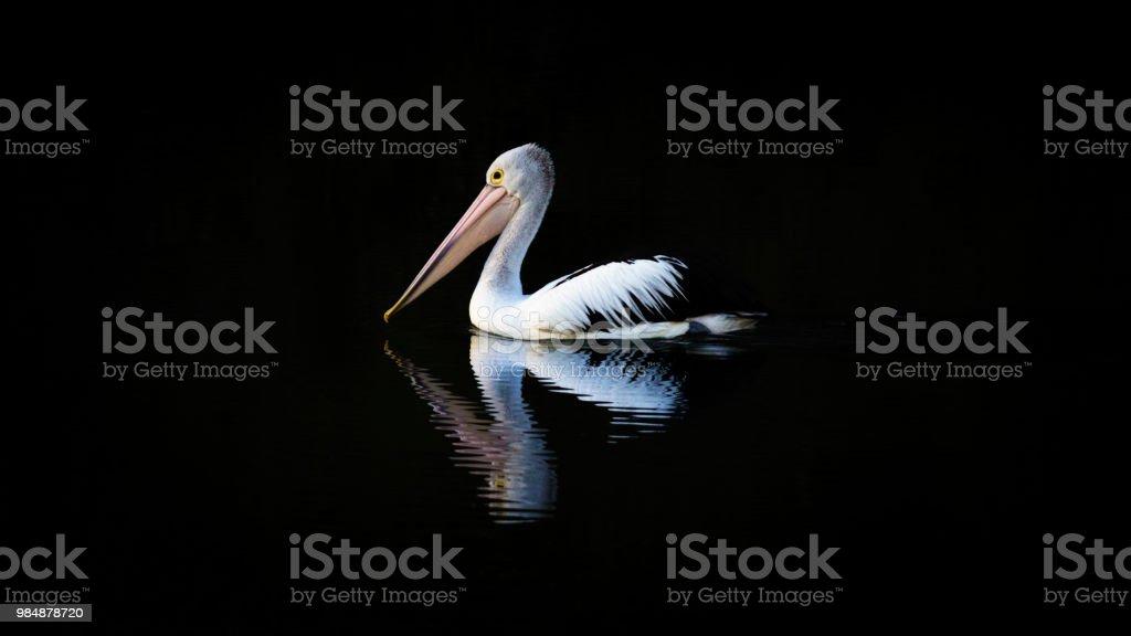Australian Pelican. Pelecanus conspicillatus. stock photo