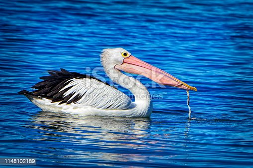 Pelican swimming and eating something