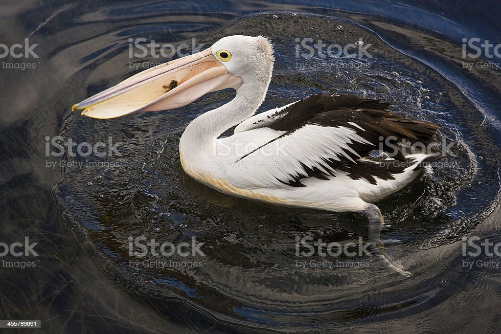 pelican digestive system