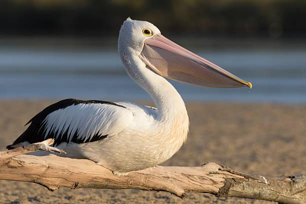 австралийский пеликан (pelecanus conspicillatus) - пеликан стоковые фото и изображения