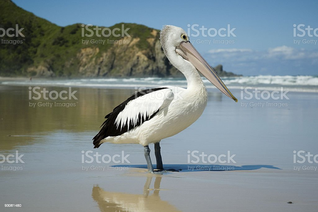 Australian Pelican royalty-free stock photo