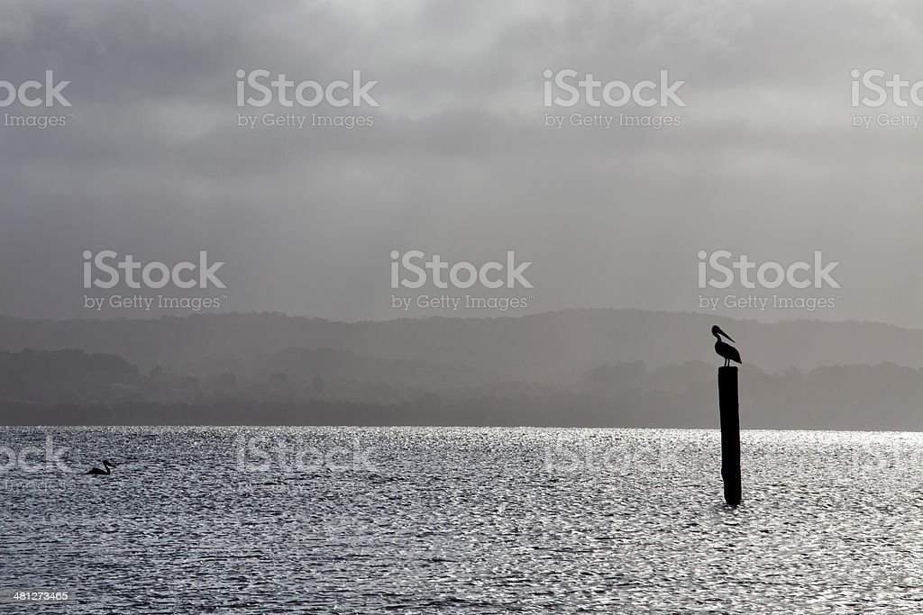 Australian Pelican resting on a pole in a lake stock photo
