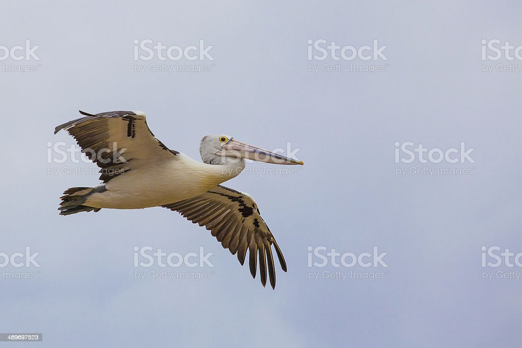 Australian Pelican spreading wings in flight stock photo