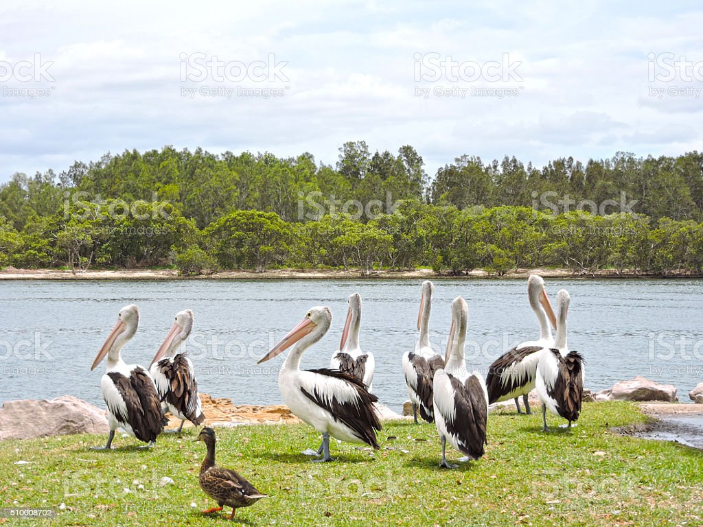 Australian Pelicans and mallard duck at the water stock photo