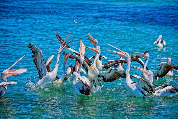 Australian Pelicans (Pelecanus conspicillatus) Pelicans fighting over food feeding frenzy stock pictures, royalty-free photos & images