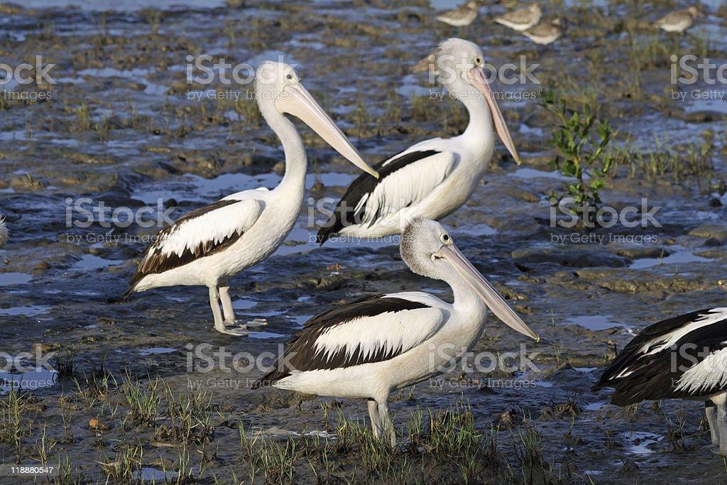 Australian Pelicans (Pelecanus conspicillatus) royalty-free stock photo
