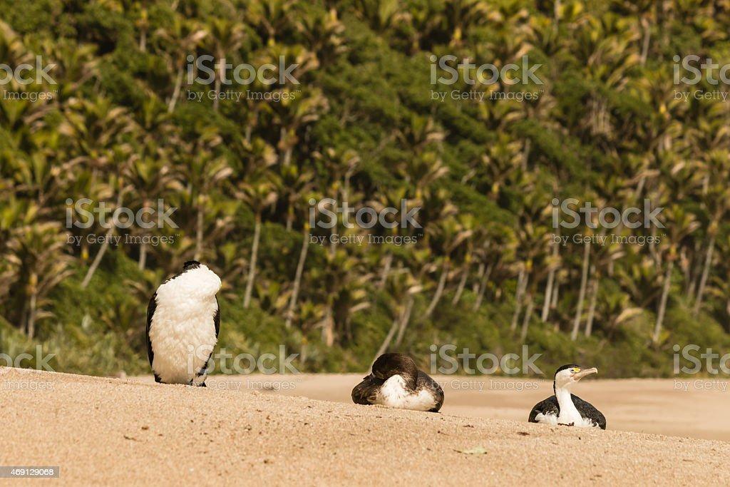 Australian pied cormorants resting on sandy beach stock photo