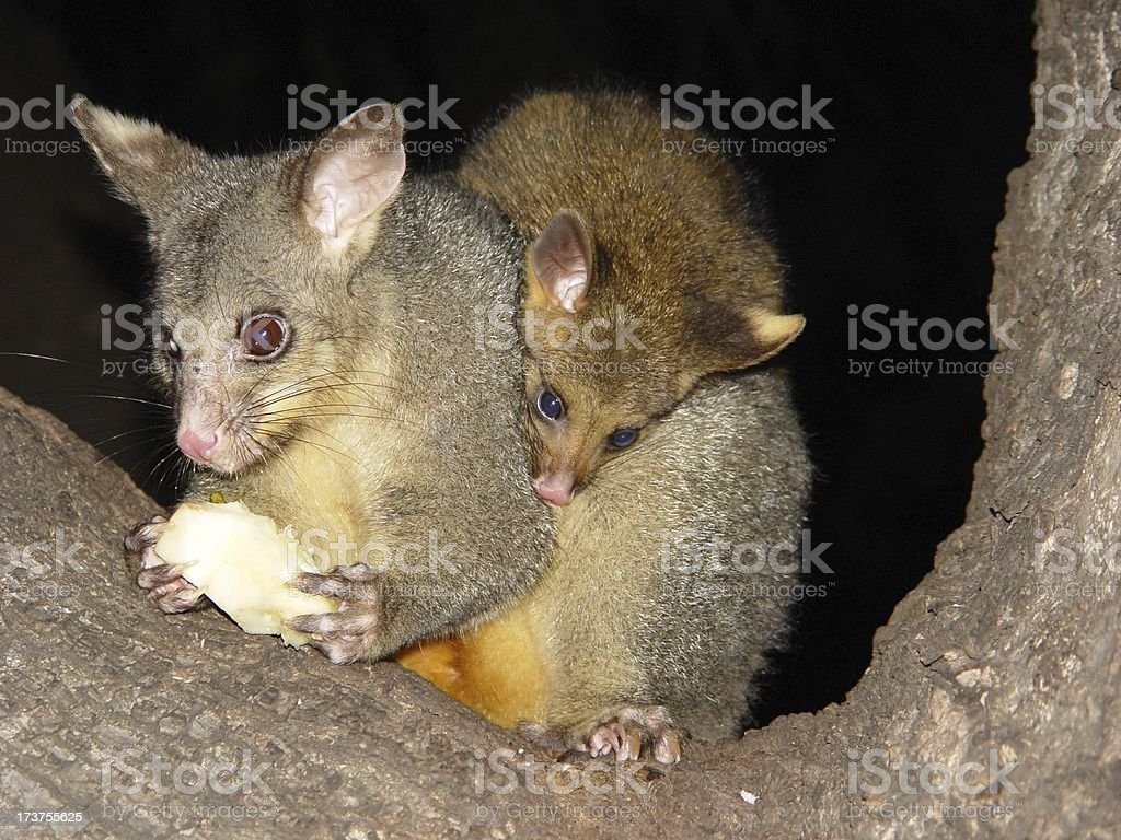 Australian possums royalty-free stock photo