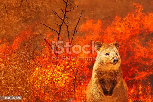 1195174769istockphoto Australian Quokka wildlife in the fire 1198107780
