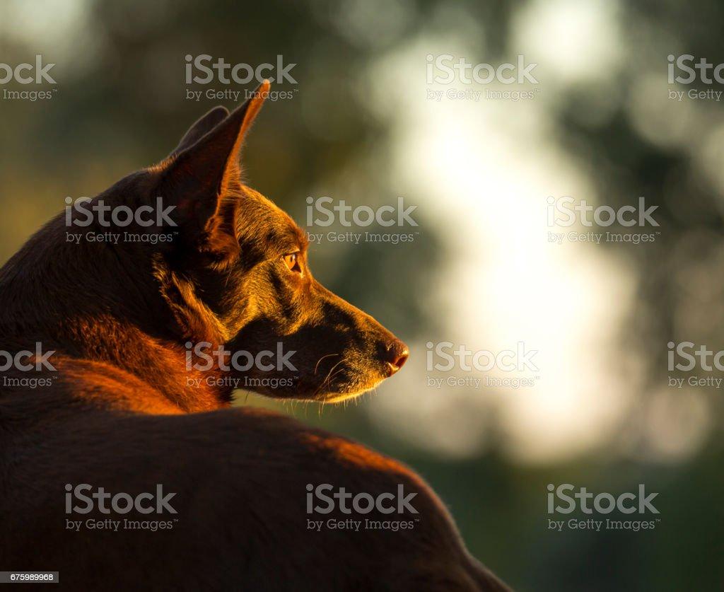 Australian Red Dog stock photo