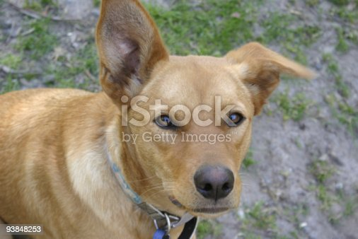 Australian red Kelpie cross breed cattle dog with dingo appearance