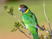 A portrait of an Australian Ringneck of the western race, known as the Twenty-eight Parrot, photographed in a forest of South Western Australia.