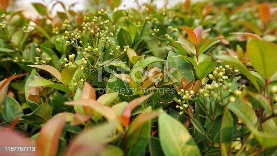 istock Australian Rose Apple in the garden 1157757713
