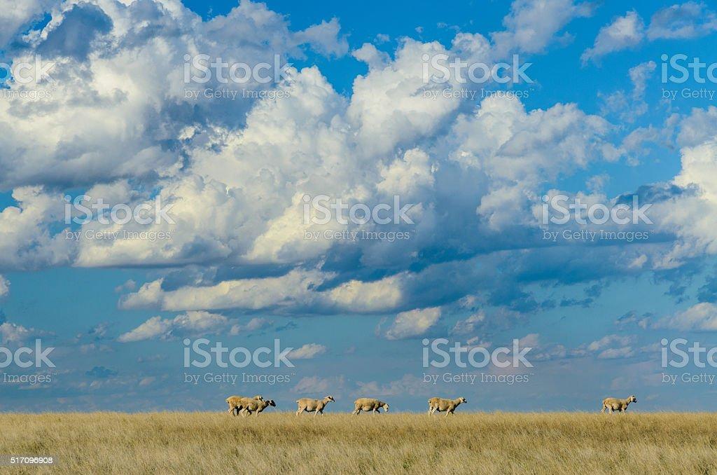 Australian rual country side scene line sheep dry paddock stock photo