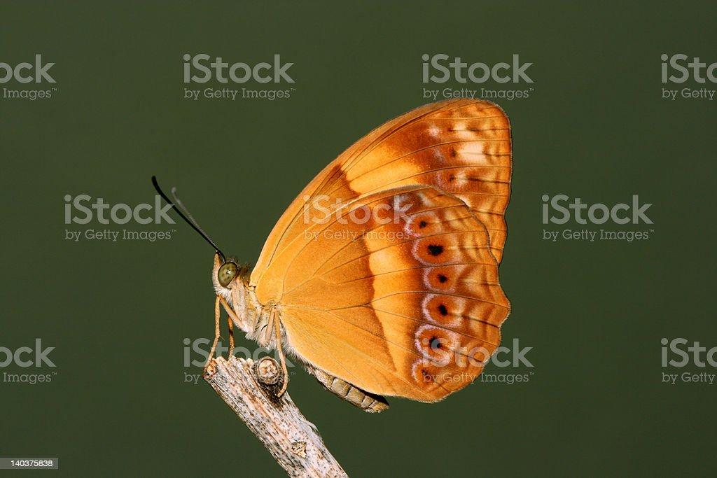 Australian Rustic Butterfly stock photo