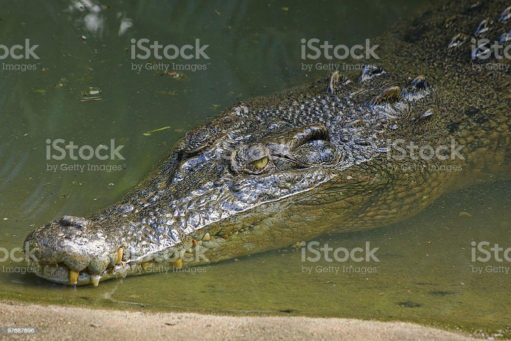 Australian saltwater crocodile royalty-free stock photo
