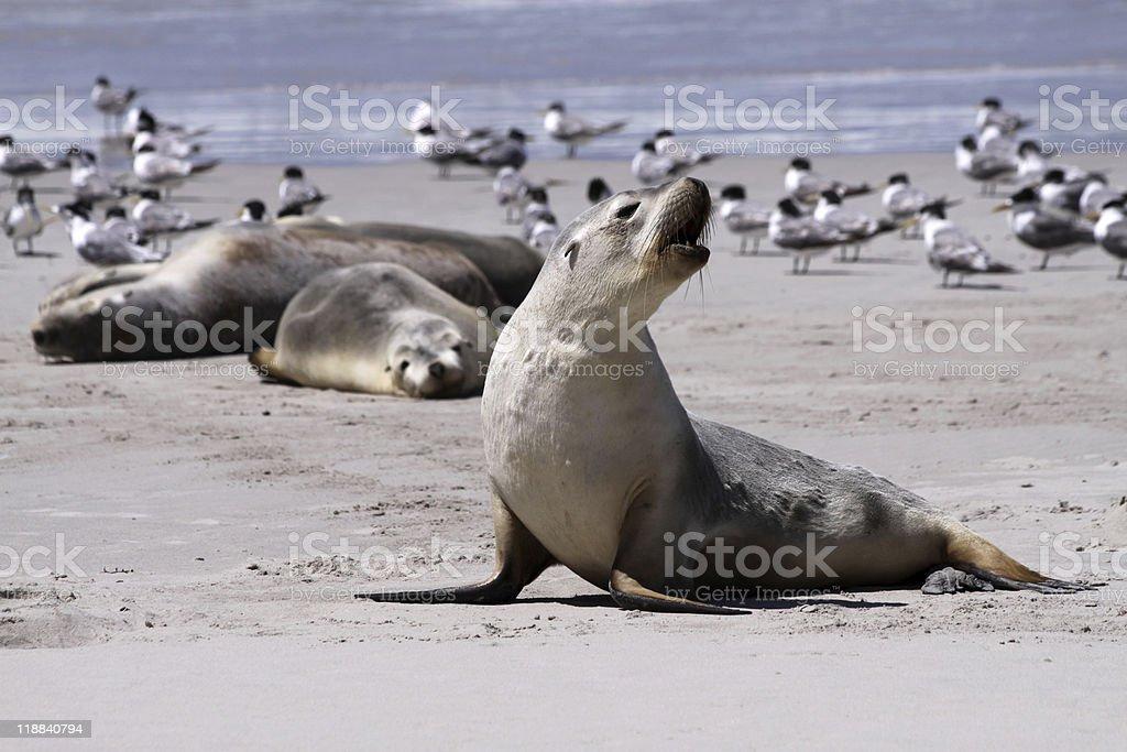 Australian Sea Lion (Neophoca cinerea) royalty-free stock photo