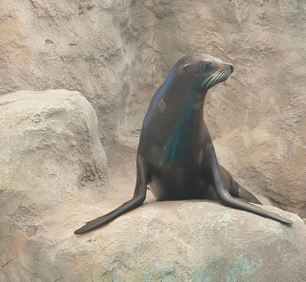 Australian sea lion stock photo