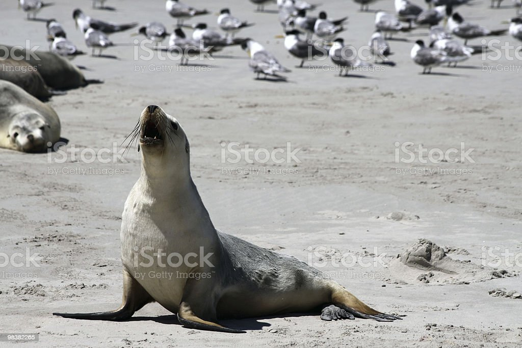 Australian Sea Lion (Neophoca cinerea) royalty-free stock photo