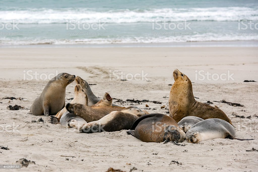australian sea lion seals on sandy beach background stock photo