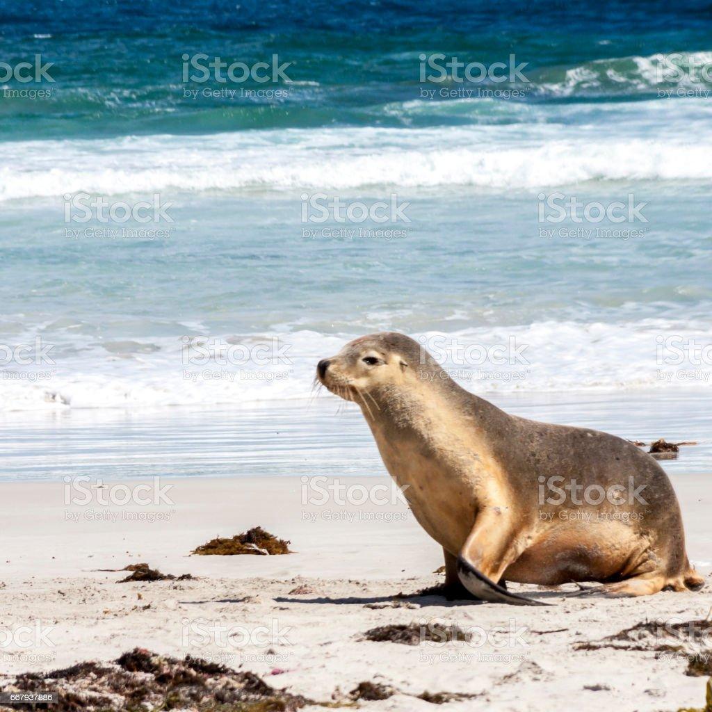 Fotografía de Australiano Lobos Marinos En Costas De La Isla Canguro ...