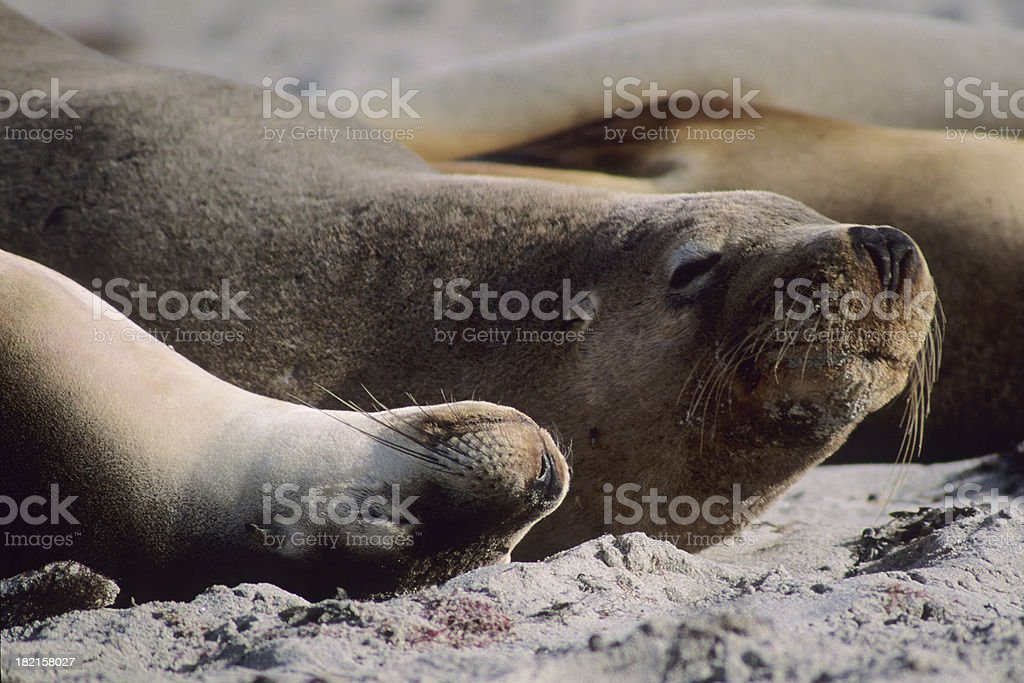 Australian Sea Lions Resting stock photo