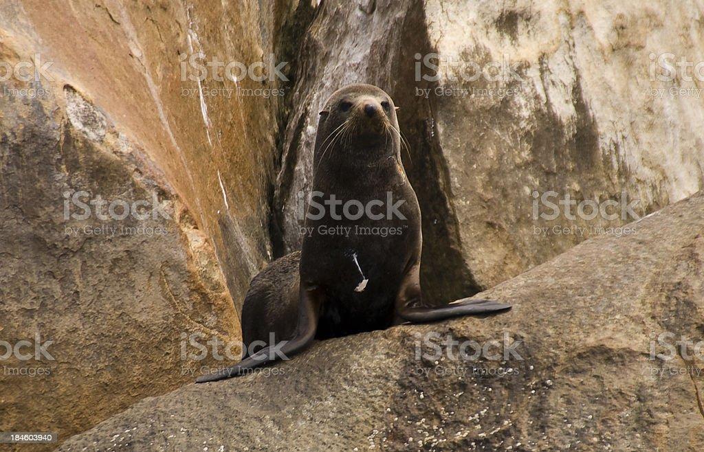 Australian Sea-Lion stock photo