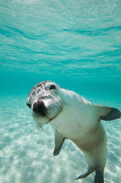 Australian Sealion Australian Sealion playing seal pup stock pictures, royalty-free photos & images