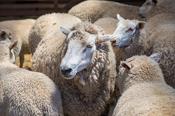 Australian sheep stock photo