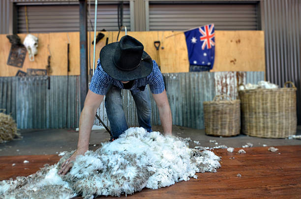 Australian Sheep shearer Queensland, Australia - November 04, 2014: Australian Sheep shearer collets wool during work in Queensland, Australia. Australia have mainly Merinos Wool. Each year over 150 million sheep are shorn by the shearers in Australia. merino sheep stock pictures, royalty-free photos & images