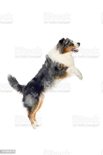 Australian shepard which is tricolor jumping in air picture id97685976?b=1&k=6&m=97685976&s=612x612&h=hbrmkddsodyrfinljkuu lzjeae8sgisx4rnukizhsq=