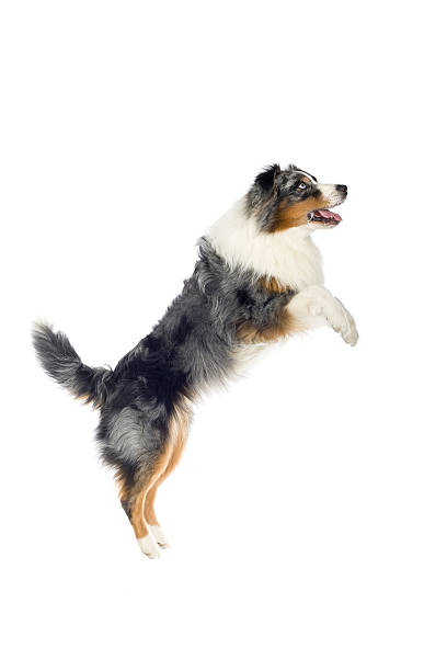 Australian Shepard which is tri-color jumping in air tri-color Australian Shepherd isolated on a white background australian shepherd stock pictures, royalty-free photos & images