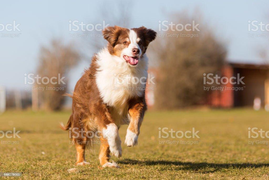 Australian Sheperd running on a meadow – Foto