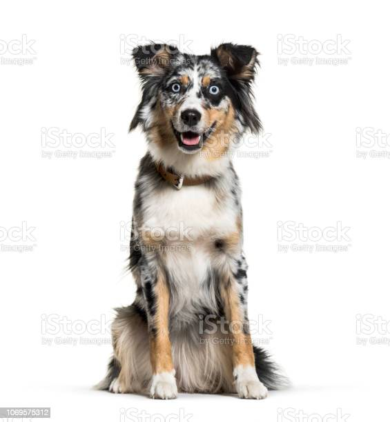 Australian shepherd 1 year old in front of white background picture id1069575312?b=1&k=6&m=1069575312&s=612x612&h=ymsevnsidxvku4umiwheq709tzrbid1d anbe3ar3ee=