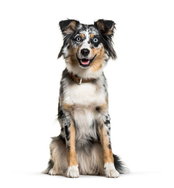 Australian shepherd 1 year old in front of white background picture id1069575312?b=1&k=6&m=1069575312&s=612x612&w=0&h=khaemzx5gz6o1 riwevkzqlcbata jgtzgu xkb72tk=