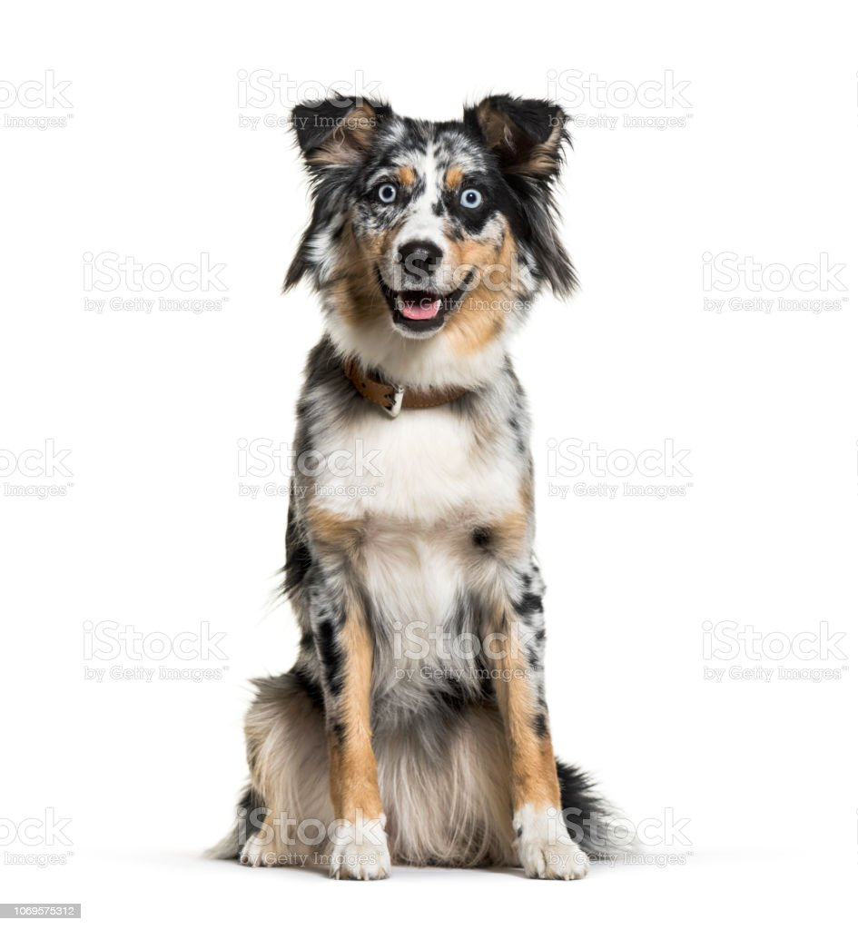 Australian Shepherd, 1 year old, in front of white background stock photo