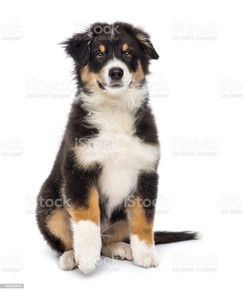Australian Shepherd, 3 months old, sitting and looking at camera stock photo