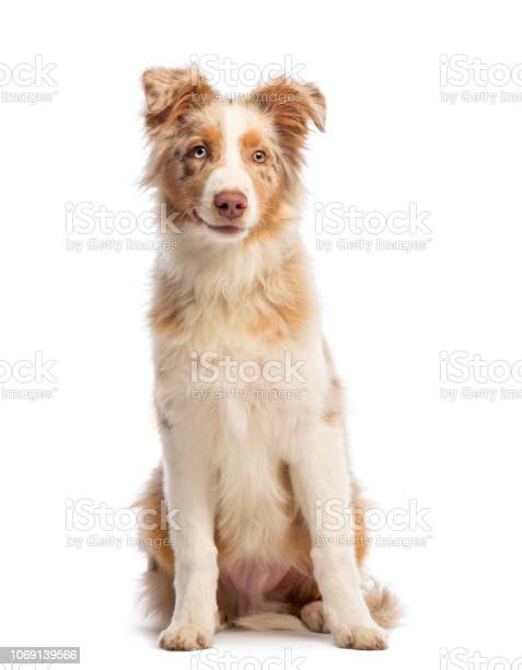 Australian shepherd 5 months old sitting smiling and looking at the picture id1069139566?b=1&k=6&m=1069139566&s=612x612&h=css2i9pluvqmlw6n wrza bo8uczgb8qmavvi9ny3ea=