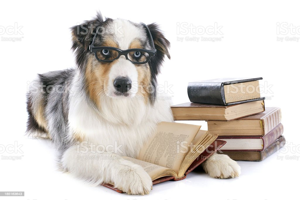 australian shepherd und Bücher – Foto