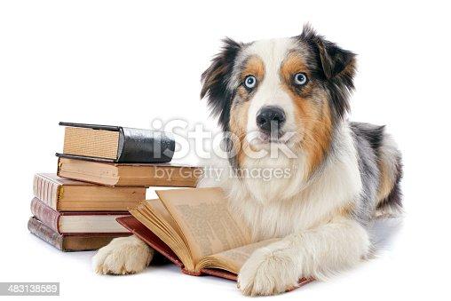 istock australian shepherd and books 483138589