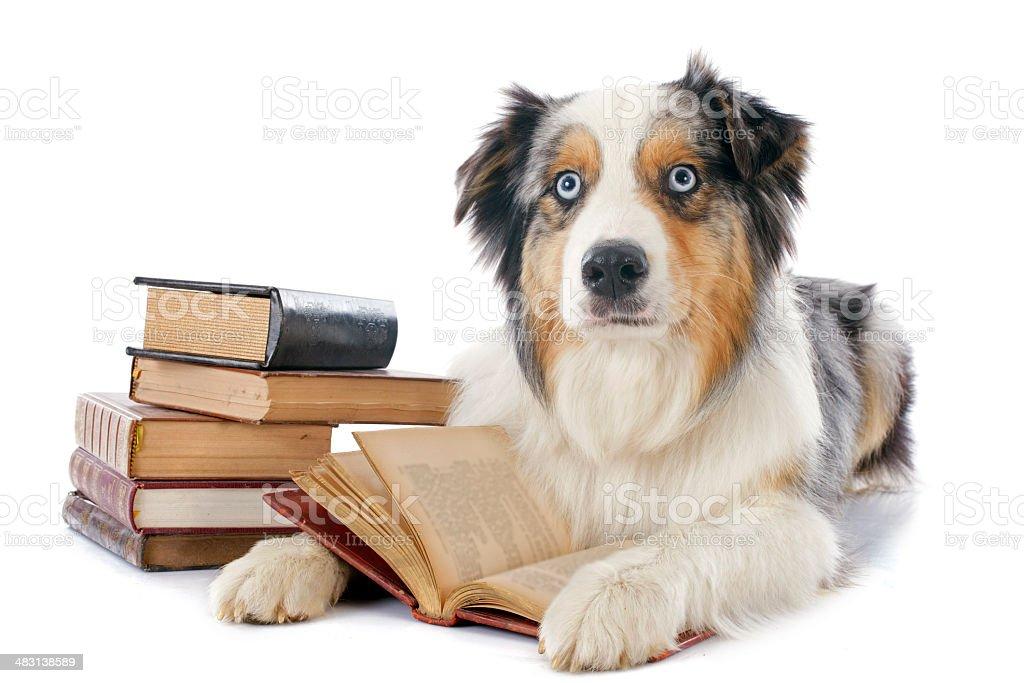 australian shepherd and books stock photo