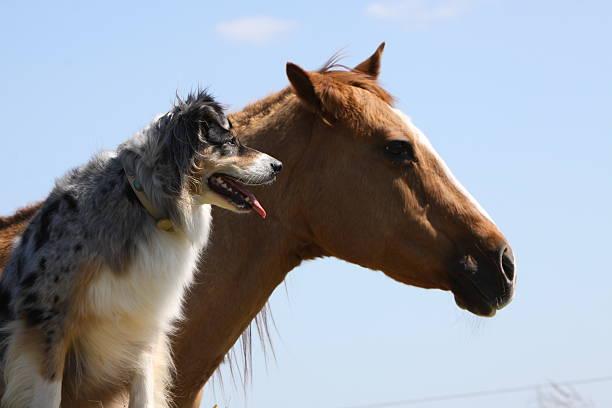 Australian Shepherd mit Pferd – Foto