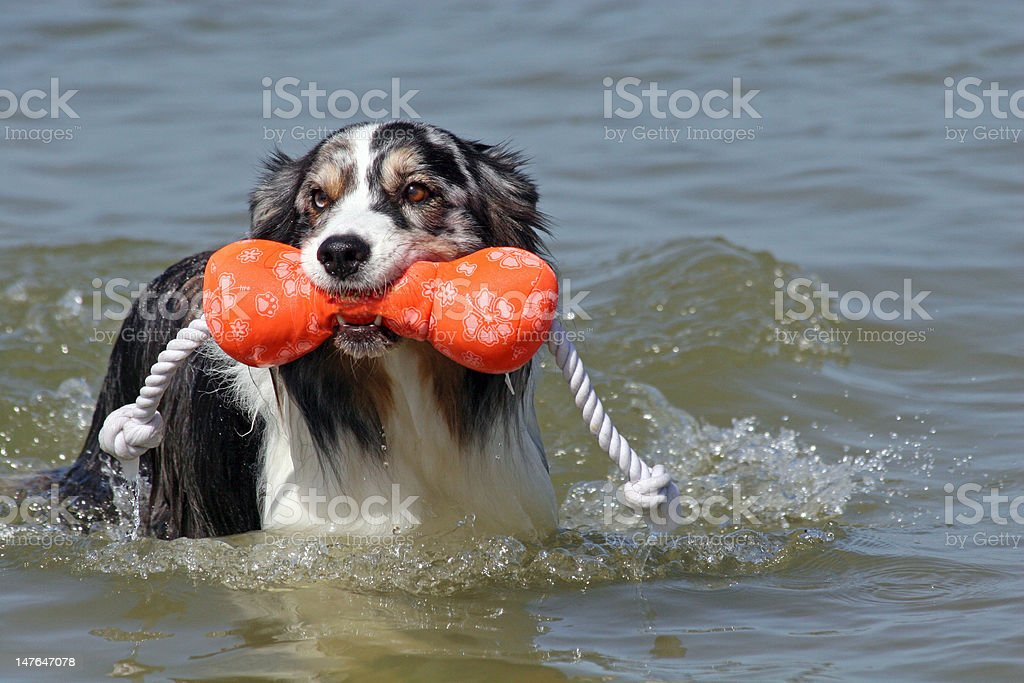 Australian Shepherd at beach royalty-free stock photo