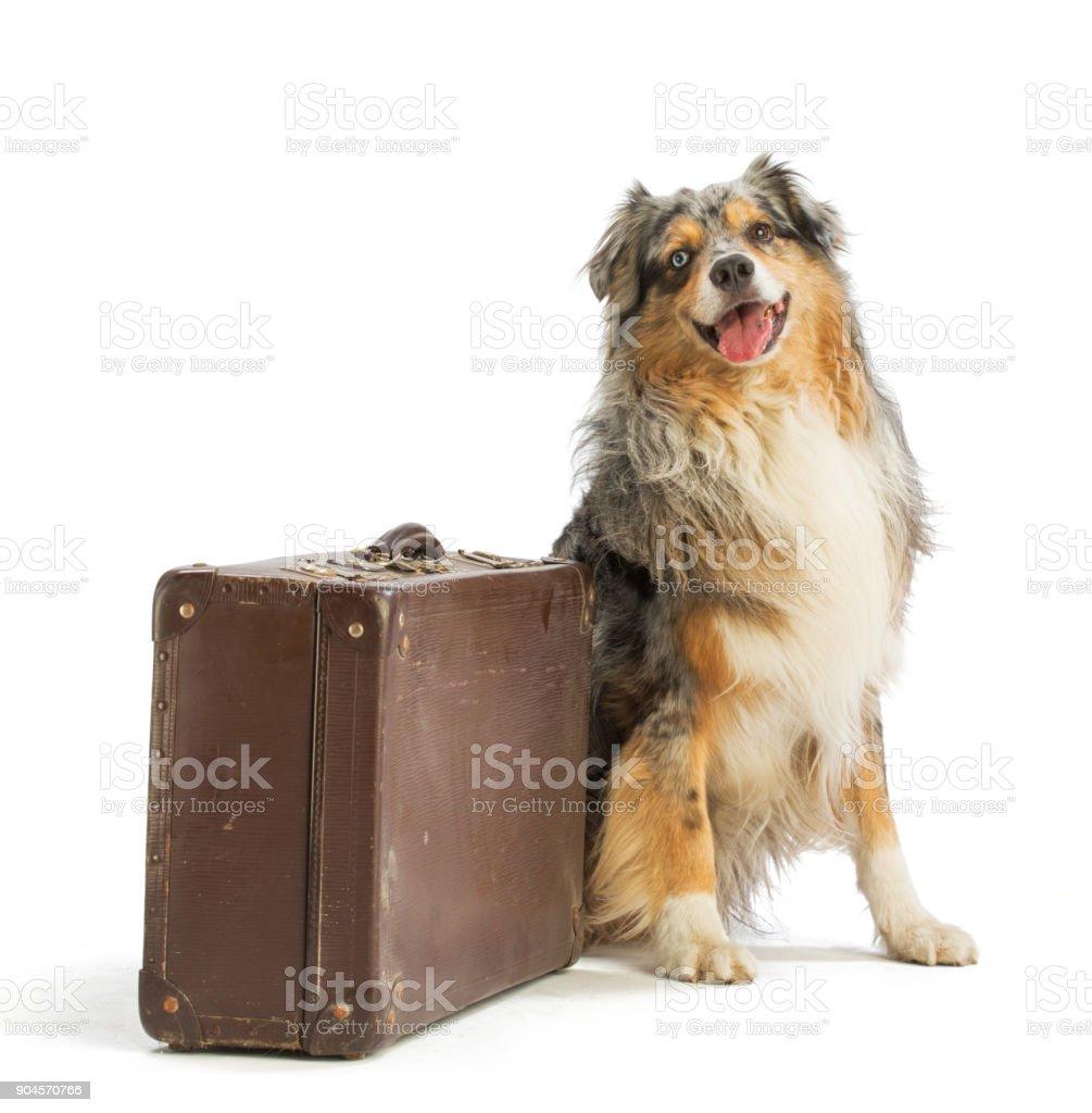 Australian shepherd blue merle with suitcase stock photo