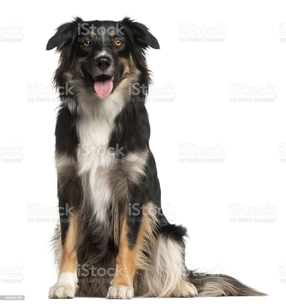 Australian Shepherd dog, 1 year old stock photo