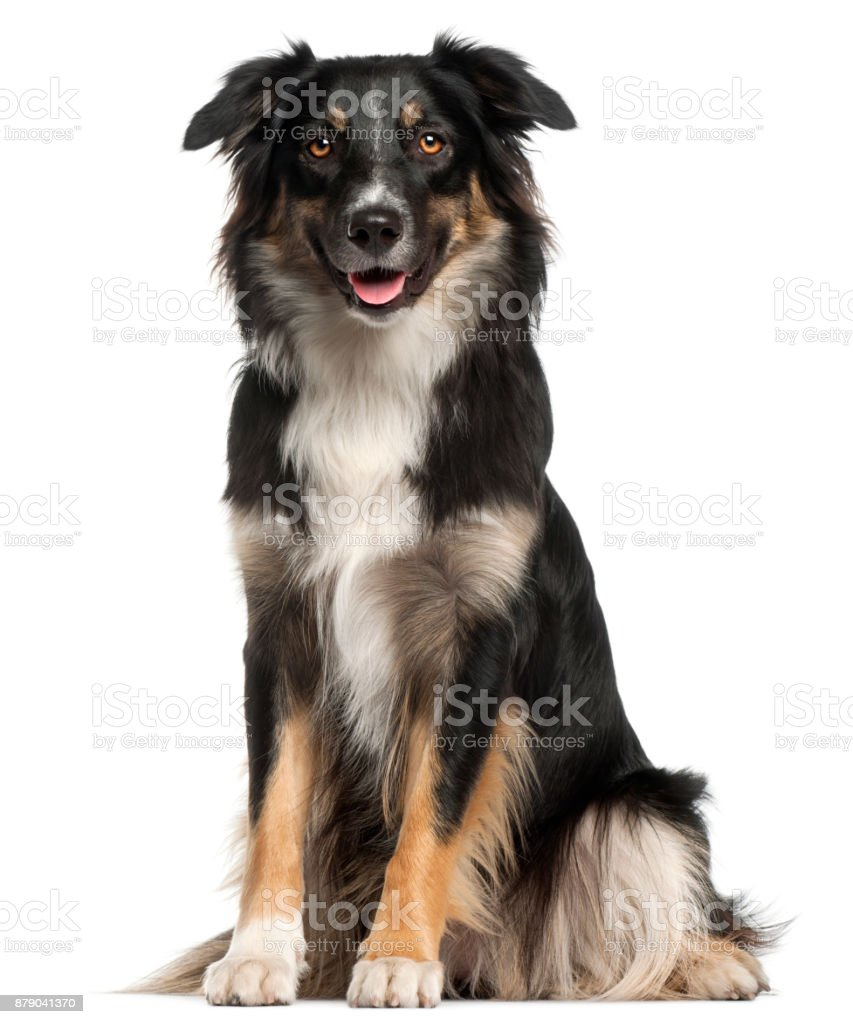 Australian Shepherd dog, 1 year old, sitting in front of white background stock photo