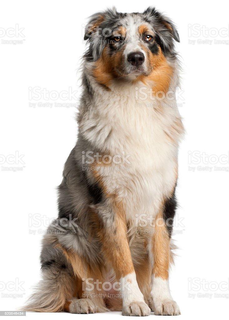 Australische Hirte Hund, 1 Jahr alt, sitzen – Foto